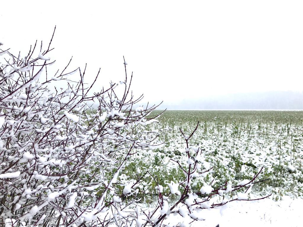 Dragoneranger im Winter, schneebedecktes Feld